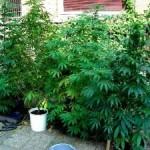 marijuana-300×225-150×150