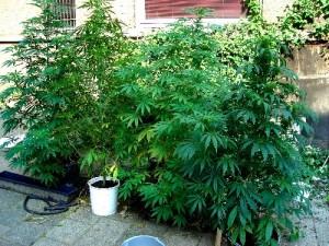 marijuana-300×225
