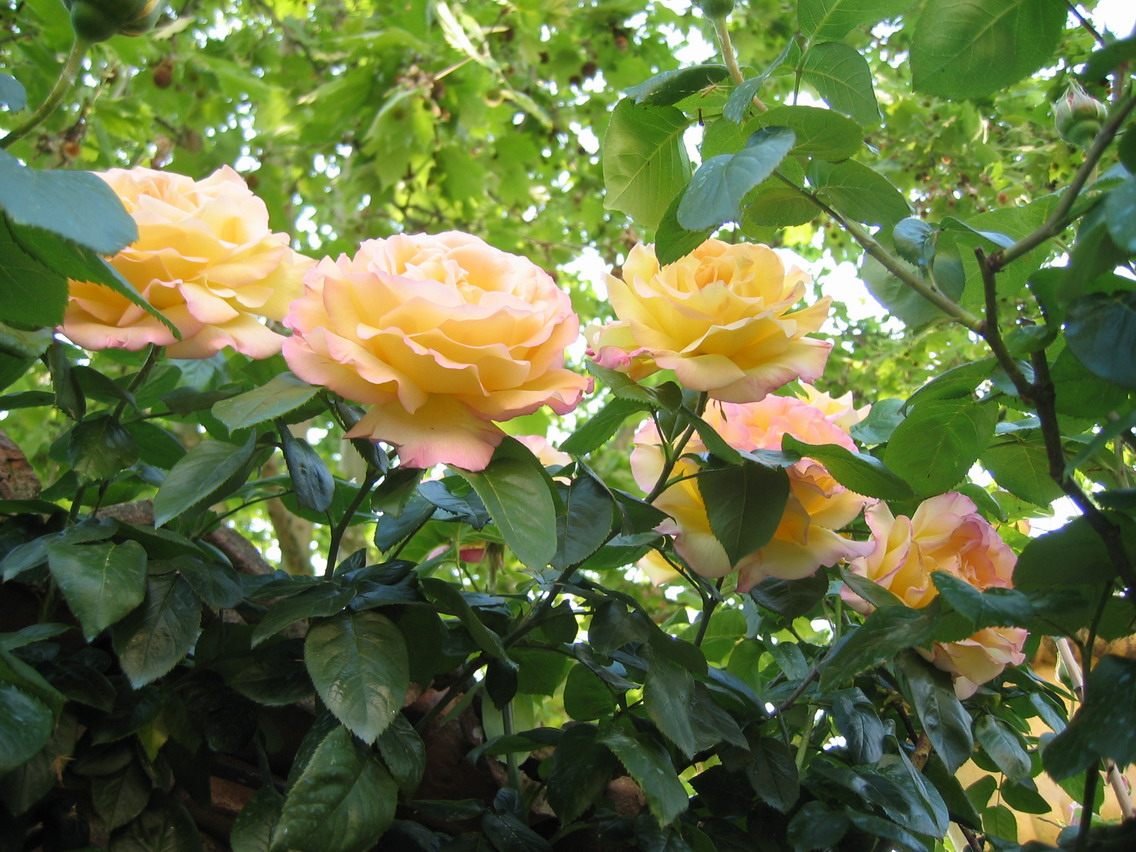 rose-gialle
