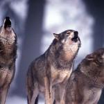 Al lupo al lupo, gli agricoltori chiede aiuto