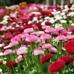 La bellezza di Coniolo fiori, l'evento che porta colore e fiori in città